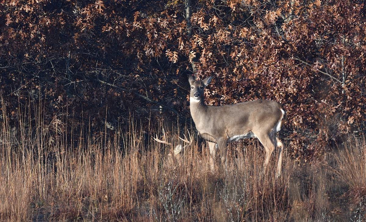 Galena, Galena, Illinois - A November Sighting Of A Doe With