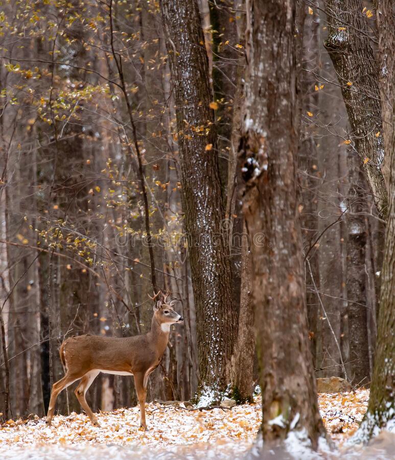 10,169 Whitetail Buck Photos - Free & Royalty-Free Stock