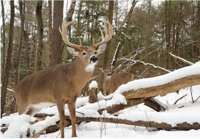 66 Best Southern Whitetail Images On Pinterest | Deer