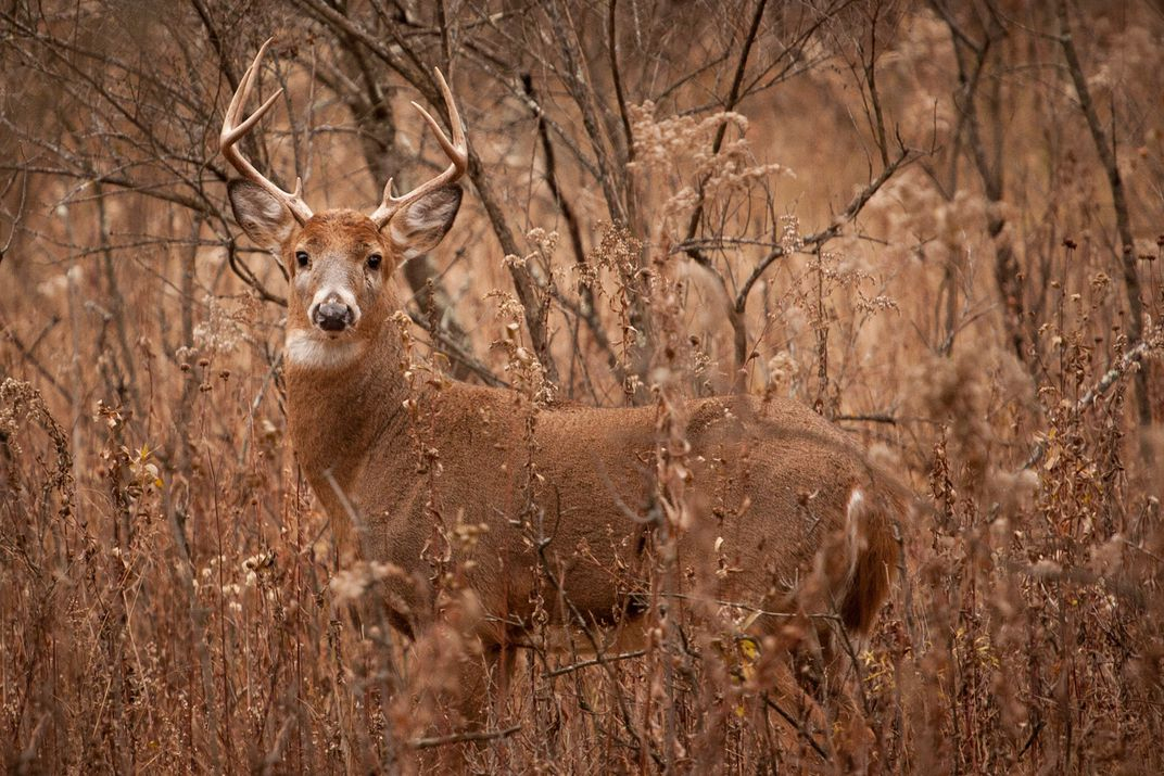 A Whitetail Buck During Rut, Keeping An Eye On His Doe