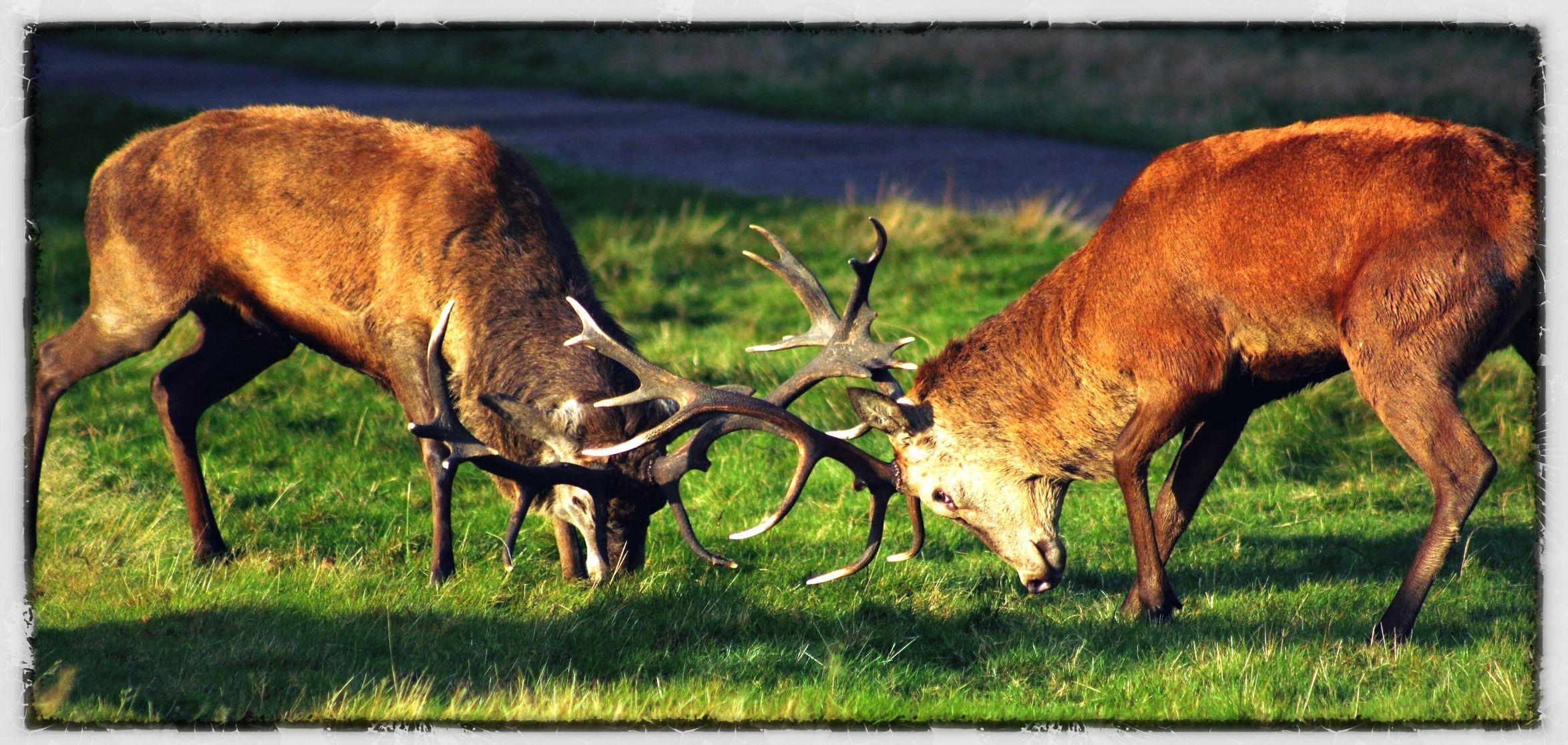 Deer Rut In Richmond Park London | Deer Rut, London Park