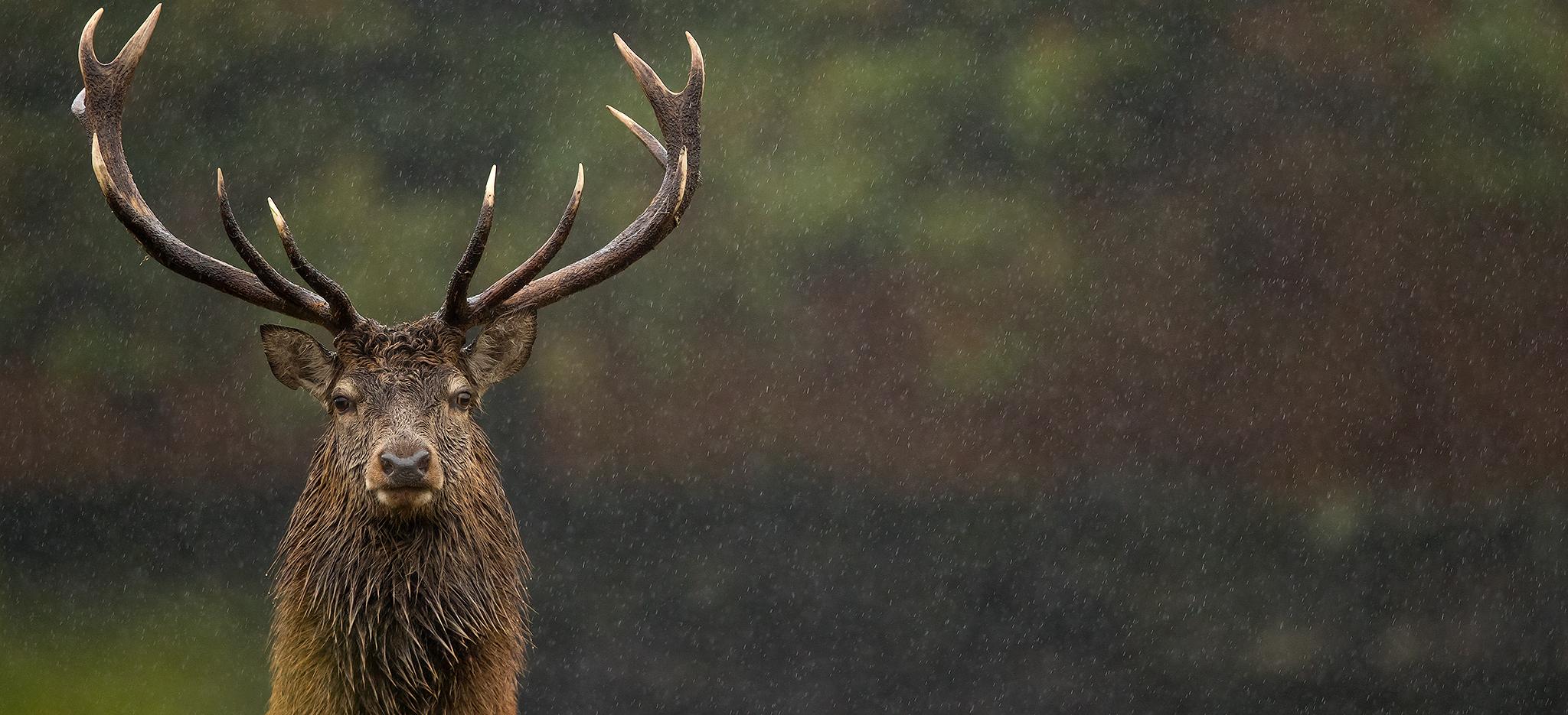 Deer Rut Special - Uk - 2021 - Natures Images