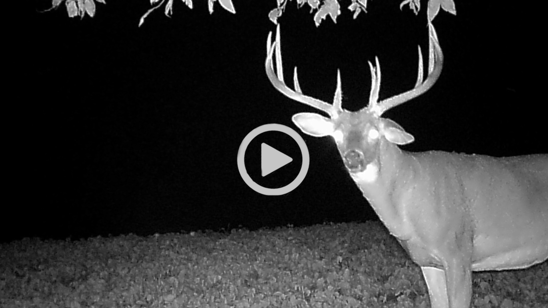 East - Midwest Whitetail
