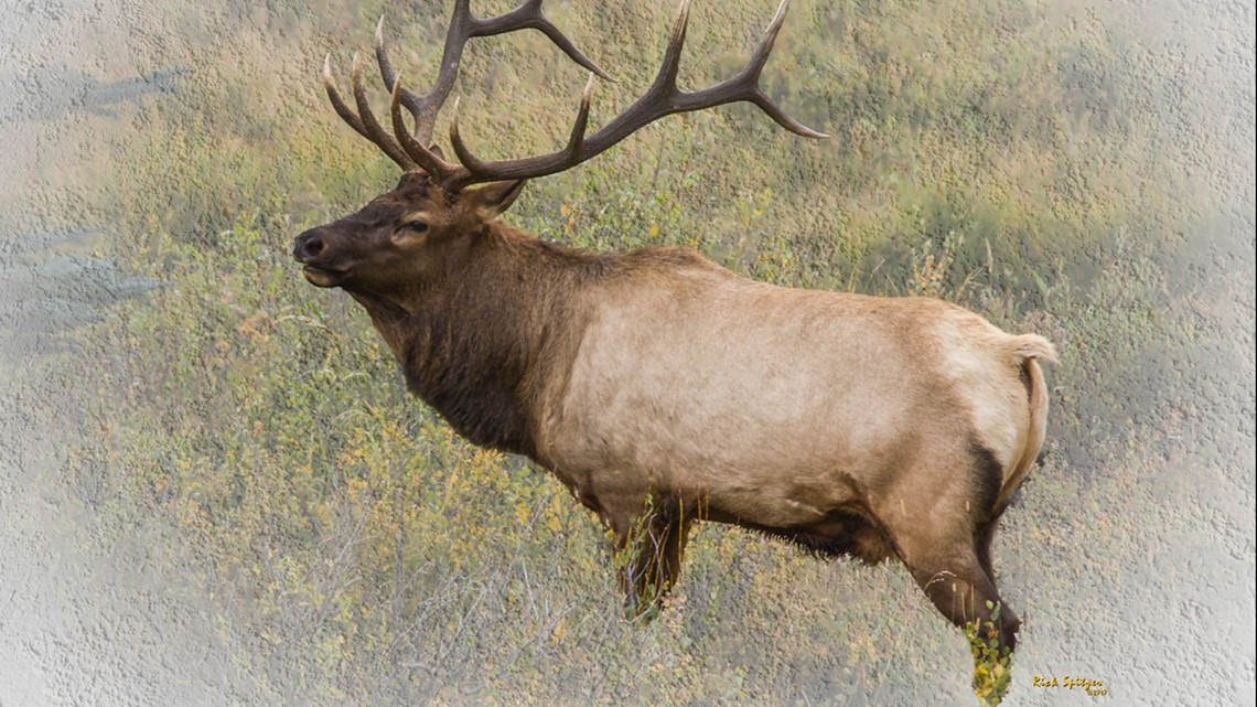 Estes Park Elk Rut: Man Injured In Close Call With Bull