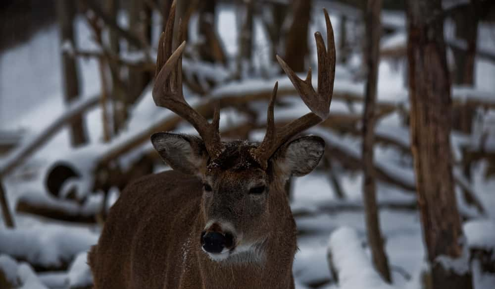 Everything You Need To Know About The Rut To Bag A Buck