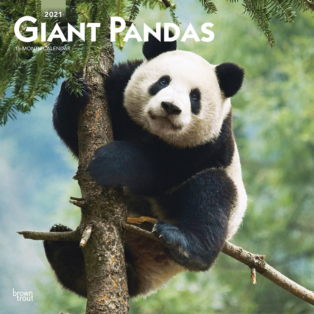 Giant Pandas 2021 12 X 12 Inch Monthly Square Wall Calendar