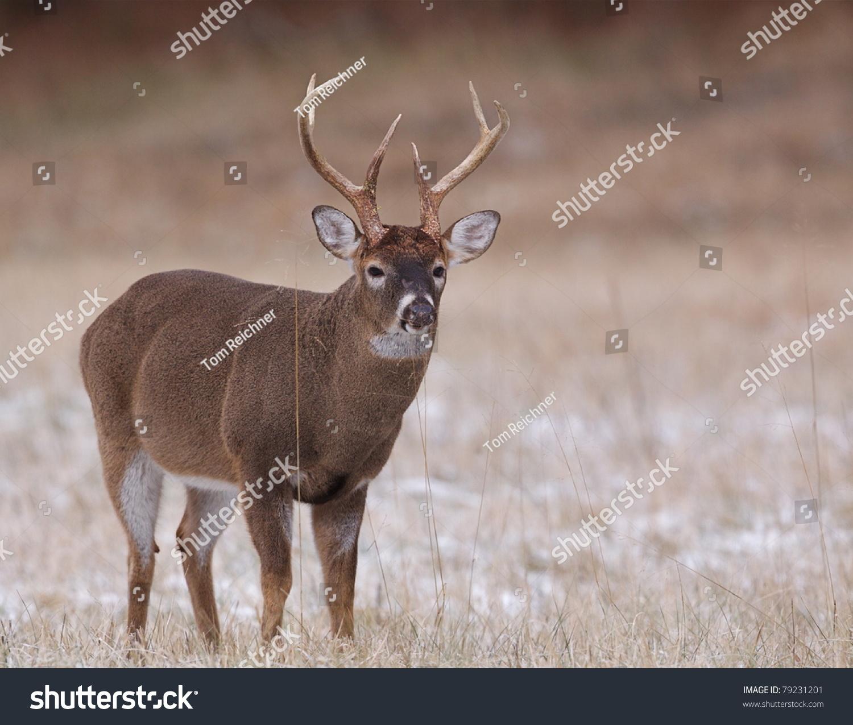 Large Muscular Whitetail Deer Buck Rutswollen Stock Photo