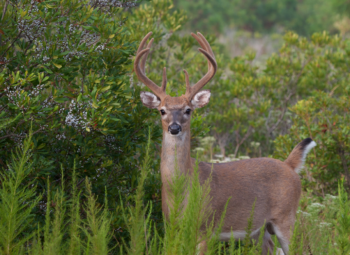 Maryland Biodiversity Project - White-Tailed Deer