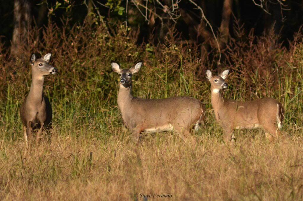 """""""Natural World"""" Through My Camera: Whitetail Rut On The Cusp!"""