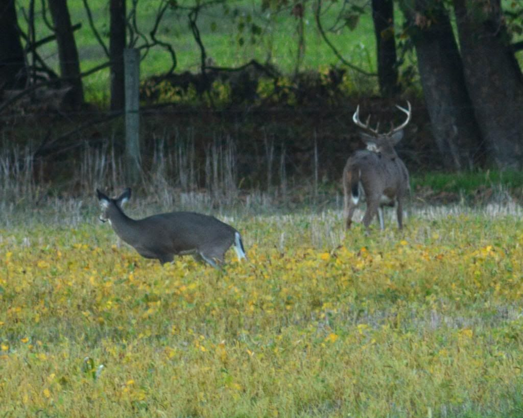 Whitetail Deer Rut In Md