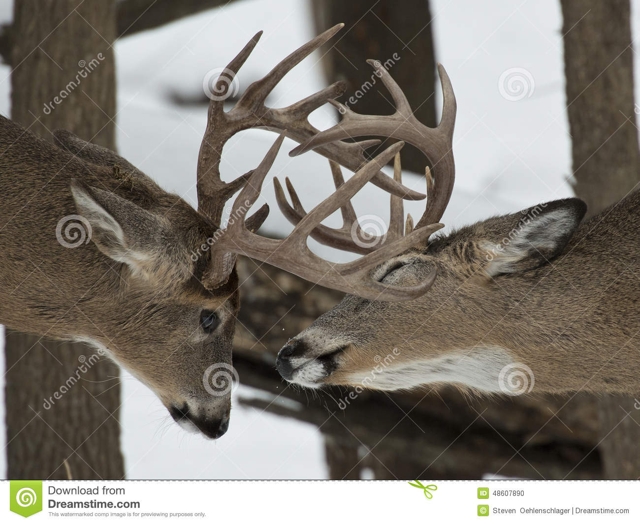 Pair Of Whitetail Deer Stock Photo. Image Of Fighting