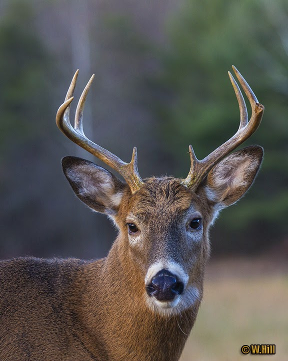 Pennsylvania Wildlife Photographer: More Whitetail Rut Images