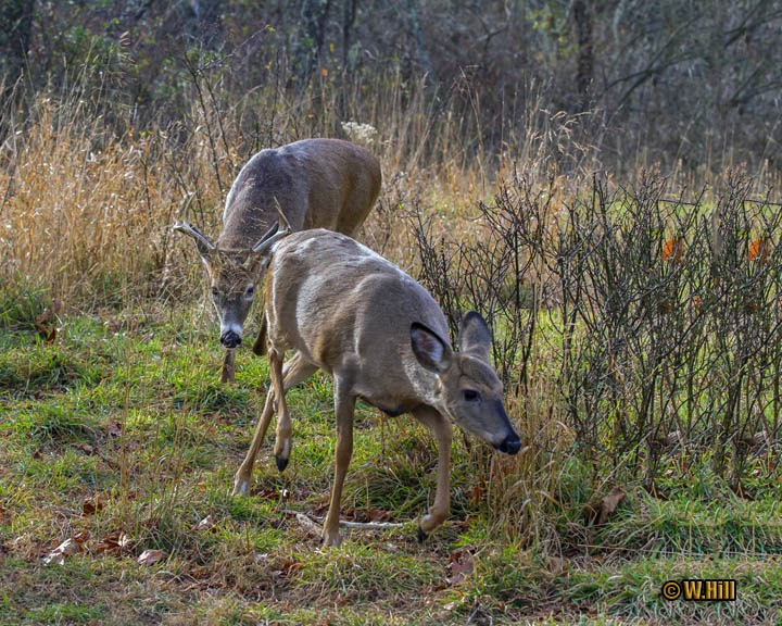 Pennsylvania Wildlife Photographer: More Whitetail Rut Images