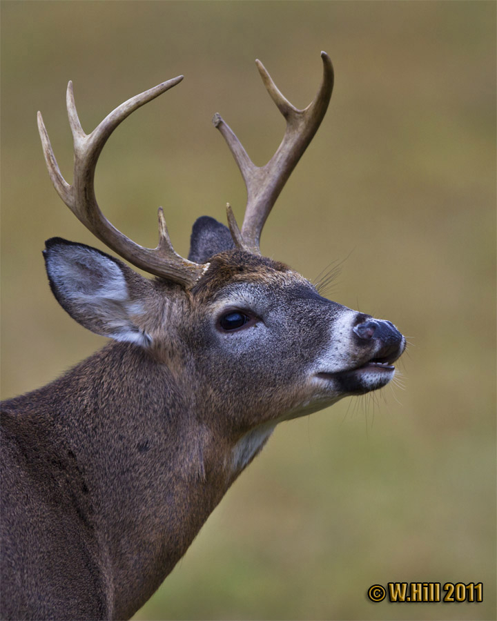 Pennsylvania Wildlife Photographer: Pa Whitetail Rut Peaks