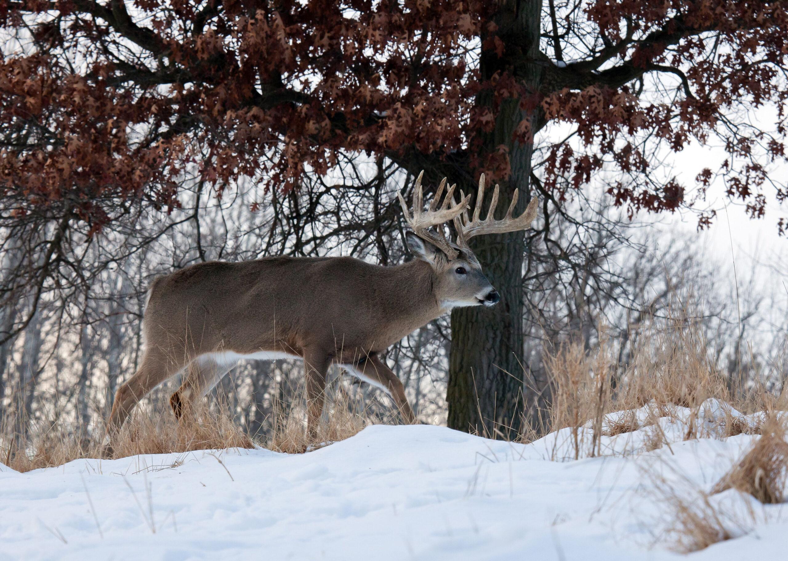 Post Rut Deer Hunting Tips | Deer Hunting Tips, Whitetail