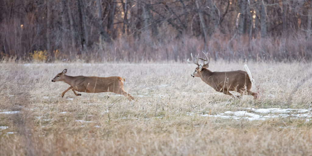 Secrets Of The Rut: Whitetail Deer Role Reversal