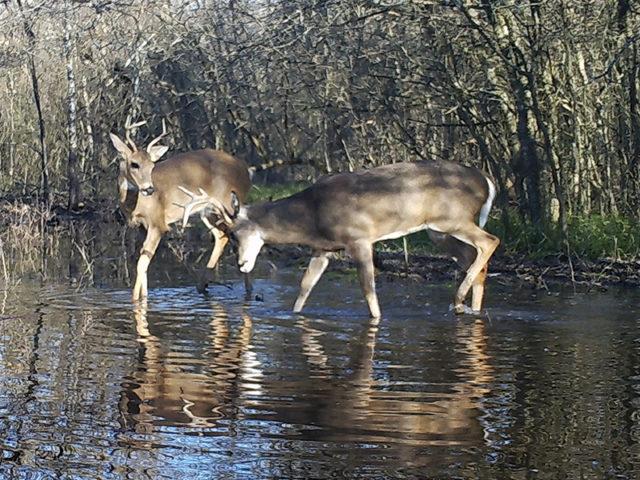 Sparring Bucks Of The North Texas Rut - Dfw Urban Wildlife