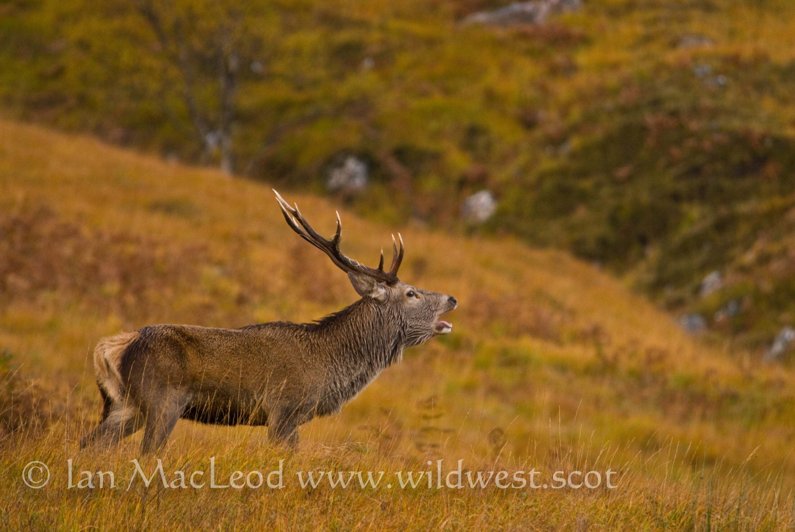 "The Call Of A Rutting Stag Has Been Described As A ""Cross"