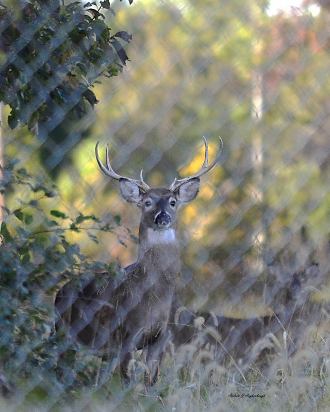 The Whitetail Rut Is Here - Augie'S Adventuresaugie'S