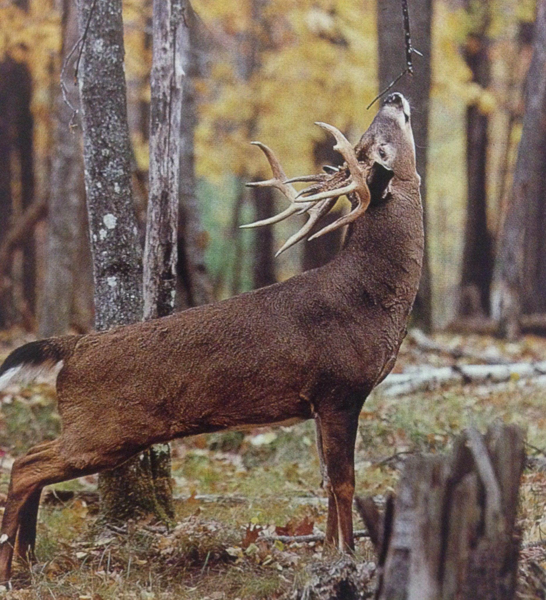 Tips To Better Hunt The Rut In 2013 | Missouri Whitetail