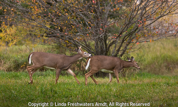 White-Tailed Buck Chasing A Doe In Northern Wisconsin