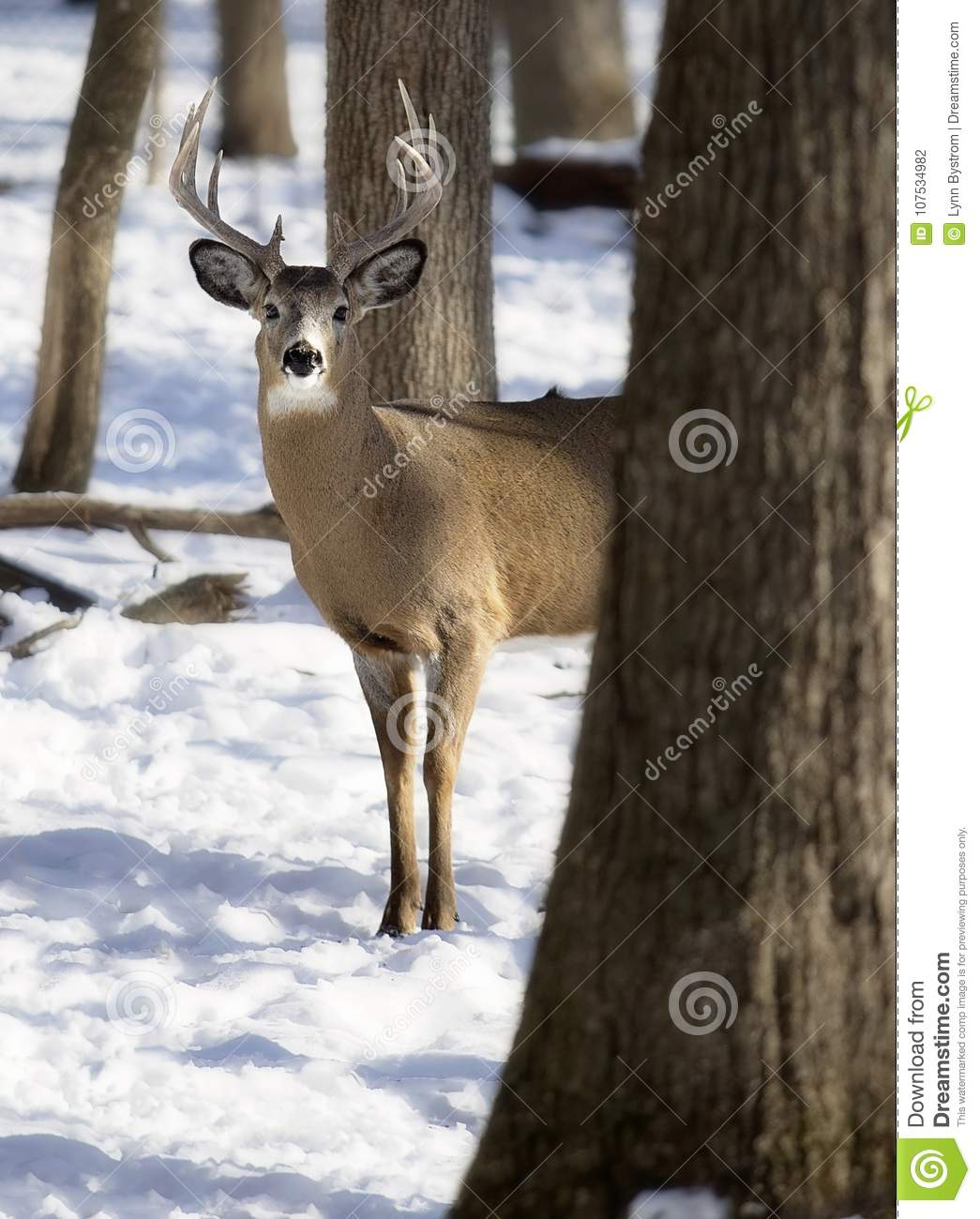 White-Tailed Deer Buck In Winter Stock Photo - Image Of