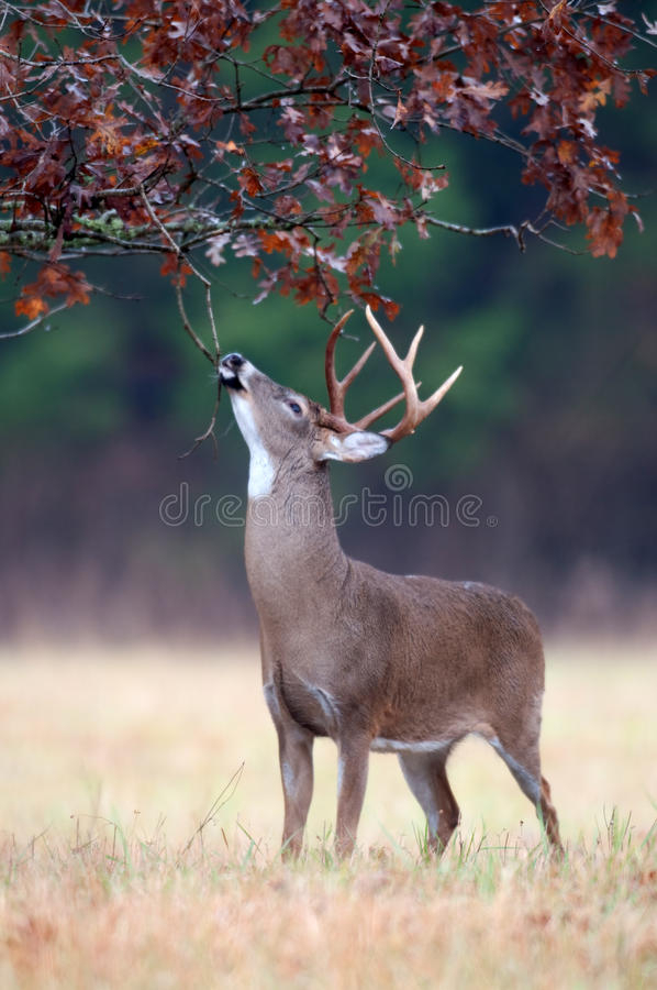 White-Tailed Deer Buck Rut Behavior Stock Photo - Image Of