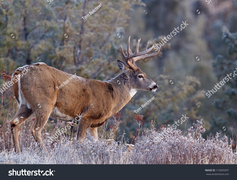 Whitetail Buck Deer Stag Adirondack Mountains Stock Photo