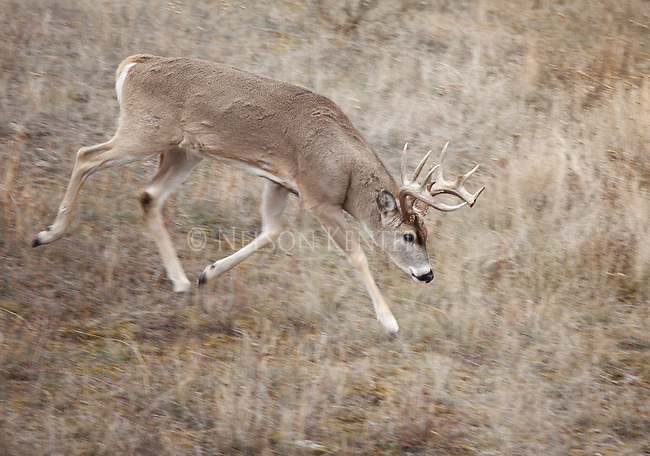 Whitetail Buck During The Rut In Montana
