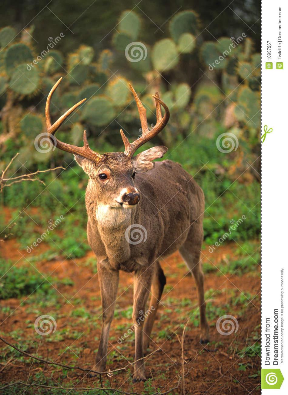 Whitetail Buck Post Rut Stock Image. Image Of Wildlife