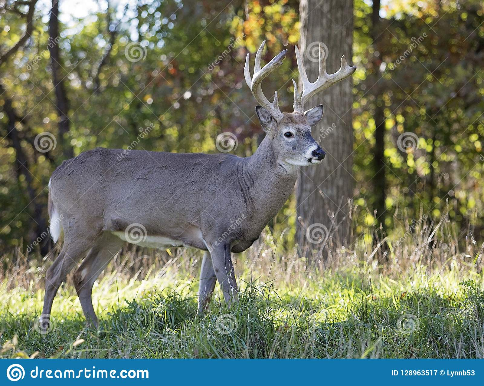 Whitetail Buck Profile Stock Image. Image Of Hunting