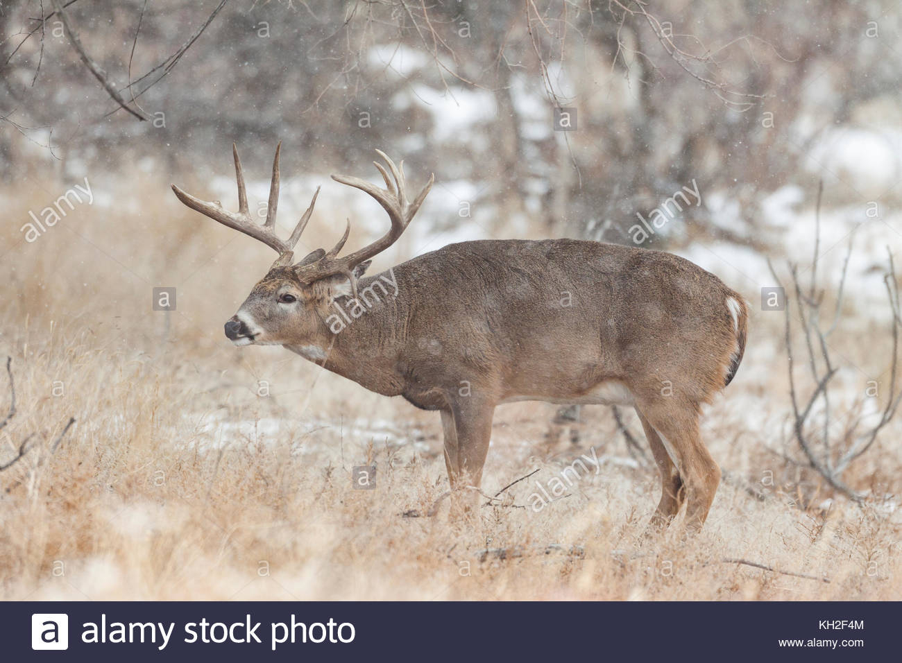 Whitetail Buck Rut Stock Photos & Whitetail Buck Rut Stock