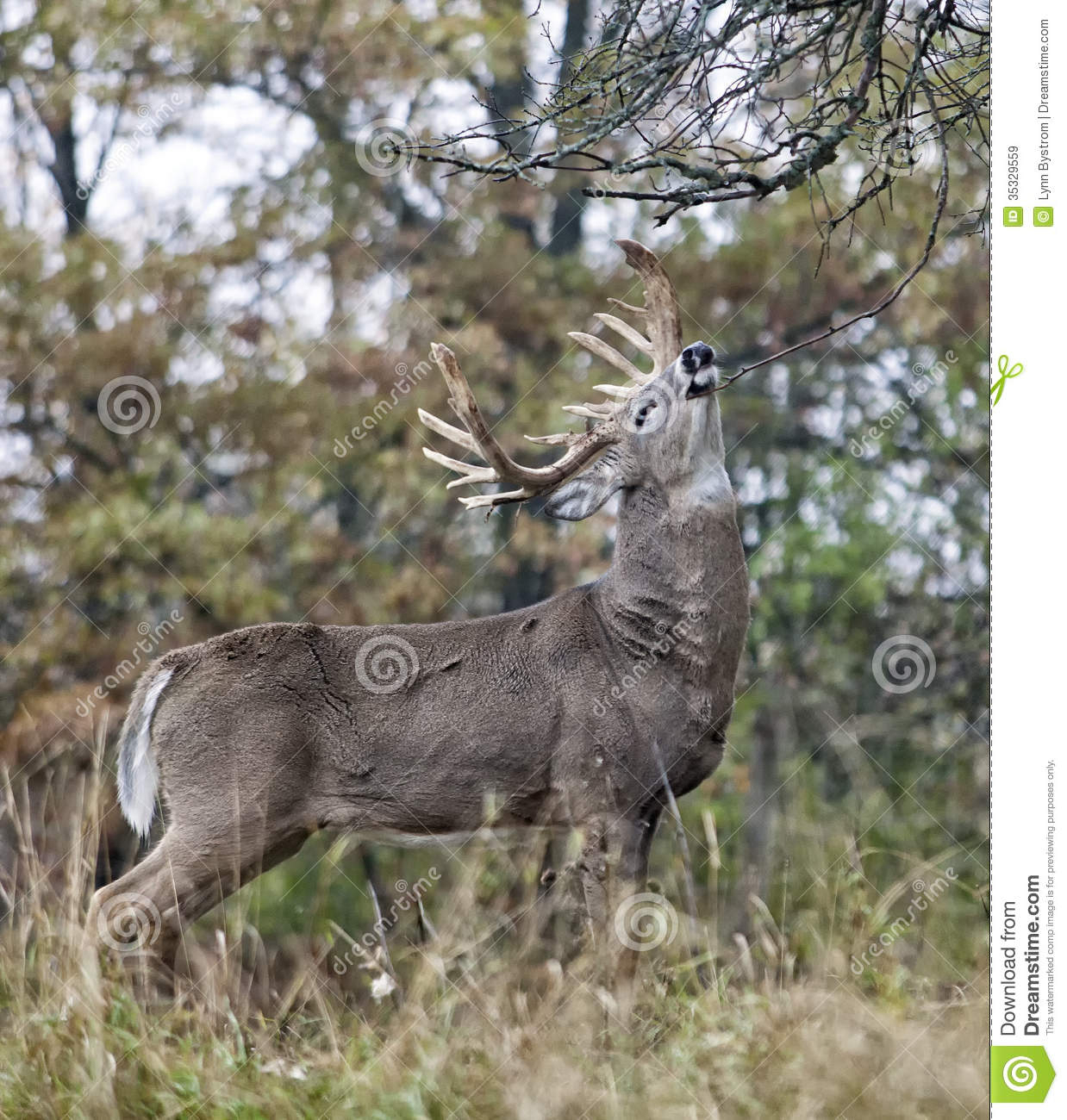 Whitetail Buck Stock Image. Image Of Profile, Buck