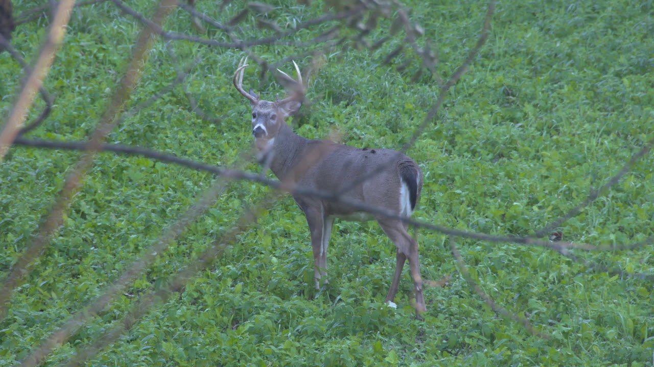 Whitetail Bucks During The Rut In Pennsylvania - Youtube
