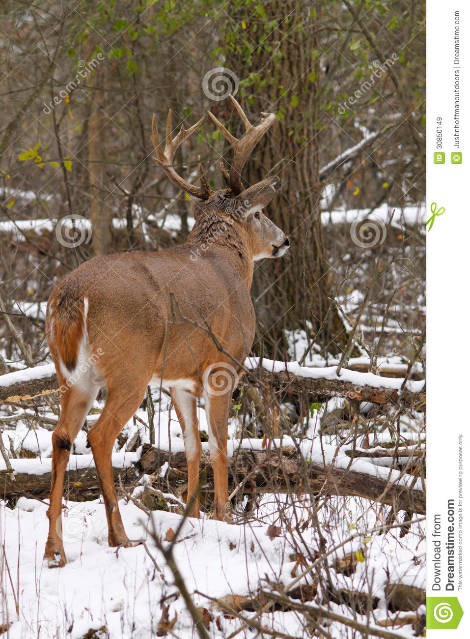 Whitetail Deer Buck In Snow During Rut Royalty Free Stock