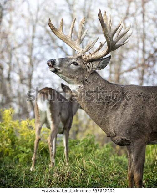 Whitetail Deer Buck Rut Showing Lip Stock Photo (Edit Now