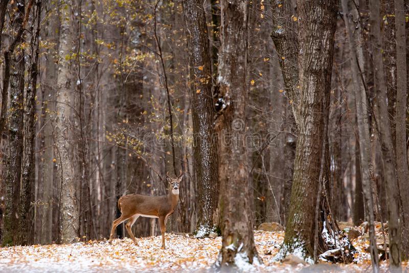Whitetail Deer Buck Rut Stock Photo. Image Of Buck