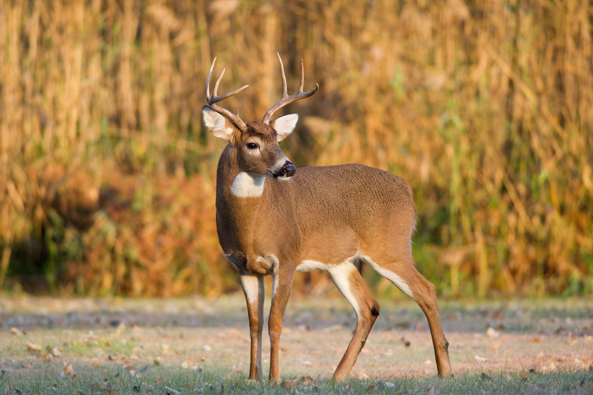 Whitetail Deer – Ray Hennessy – Medium