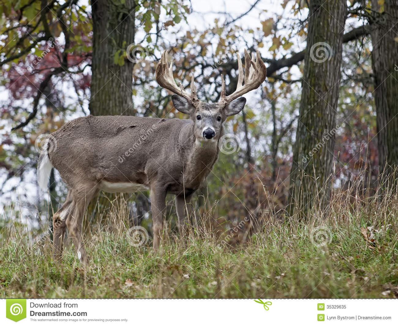 Whitetail Deer Royalty Free Stock Photo - Image: 35329635