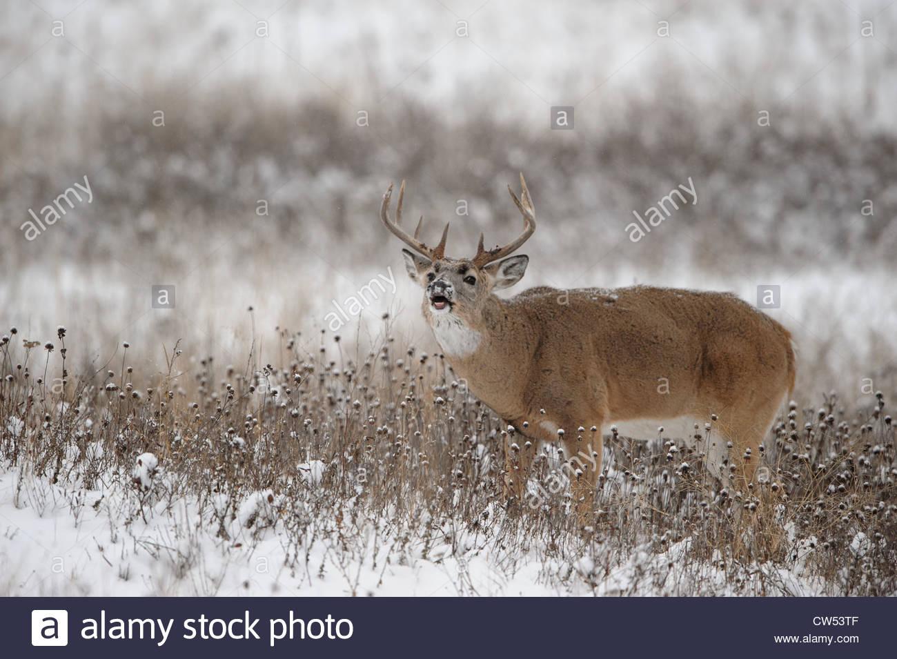 Whitetail Deer Snow Stock Photos & Whitetail Deer Snow
