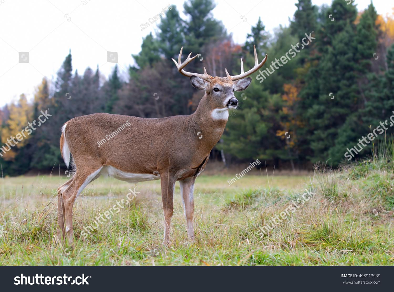 Whitetailed Deer Buck Autumn Meadow Stock Photo 498913939
