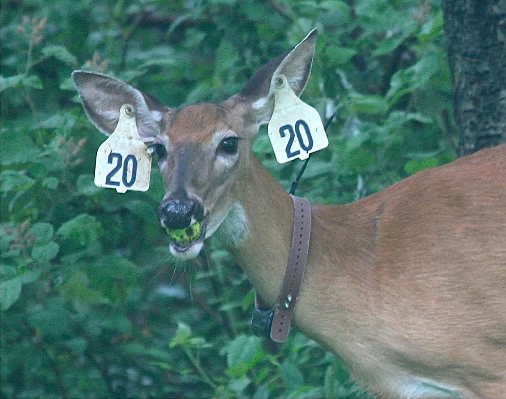 Young Hunter'S First Deer Confusing Due To Collar, Tags