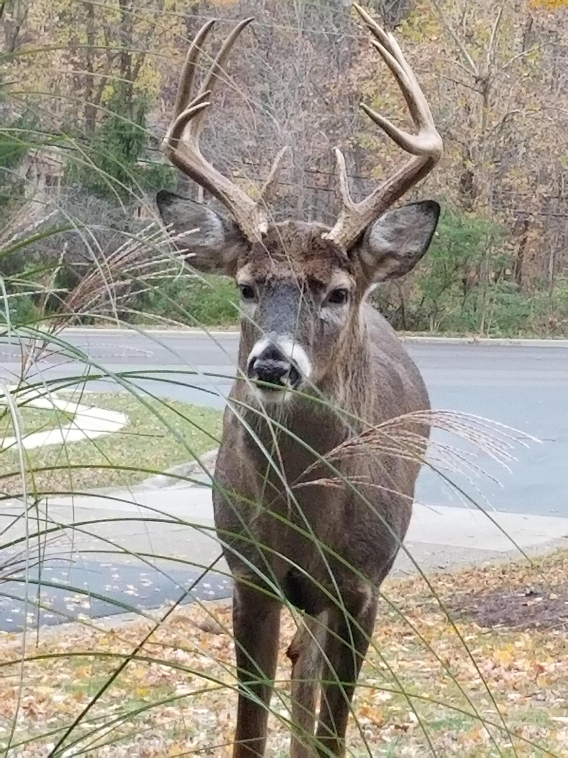 Indiana City Deer. Rut Is On - Album On Imgur