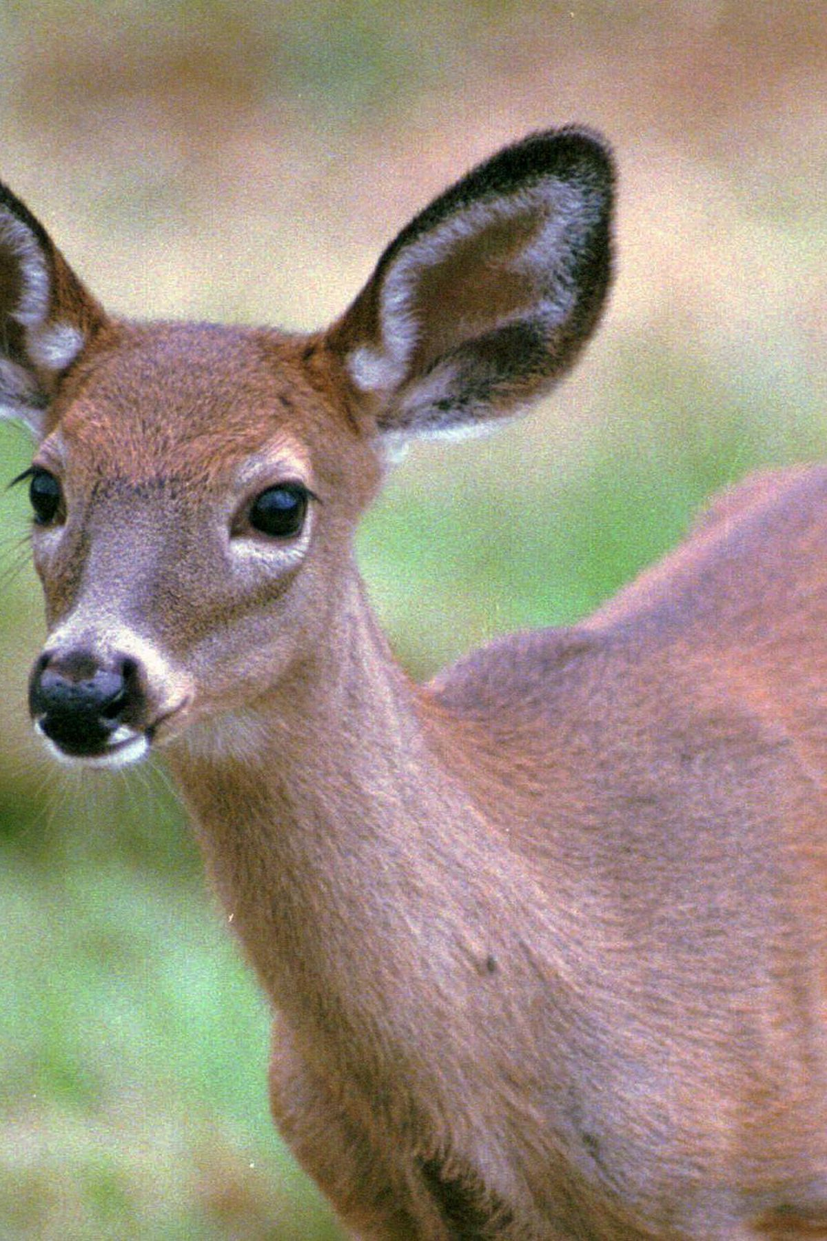 Ldwf: Deer Hunters In Louisiana Should Be Aware Of Escaped